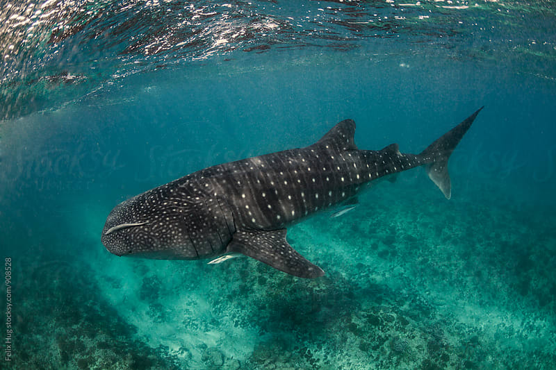Whale Shark Maldives by Felix Hug for Stocksy United