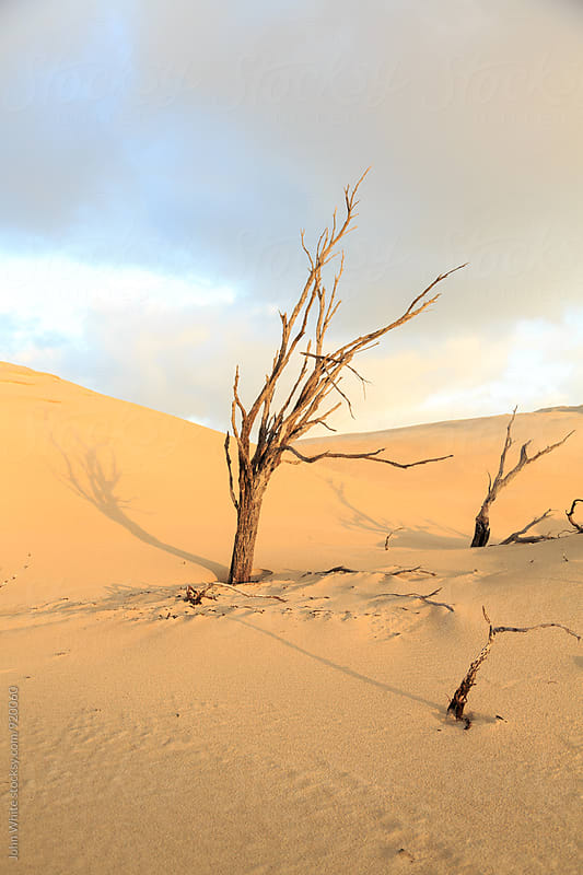 Dead tree in a sand dune.  by John White for Stocksy United