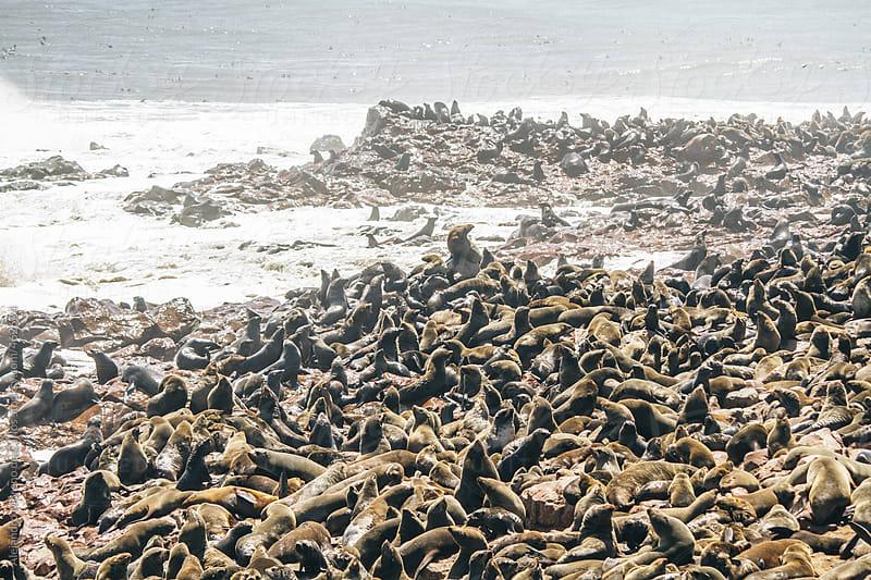 Colony of thousands of seals on the coast. Cape Cross, Namibia by Alejandro Moreno de Carlos for Stocksy United