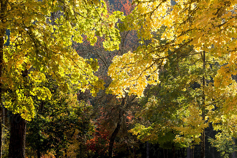 Autumn Leaves in Oregon by Terry Schmidbauer for Stocksy United