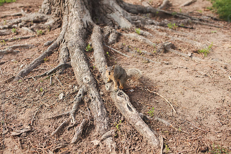Squirrel standing at the base of a tree. by luke + mallory leasure for Stocksy United