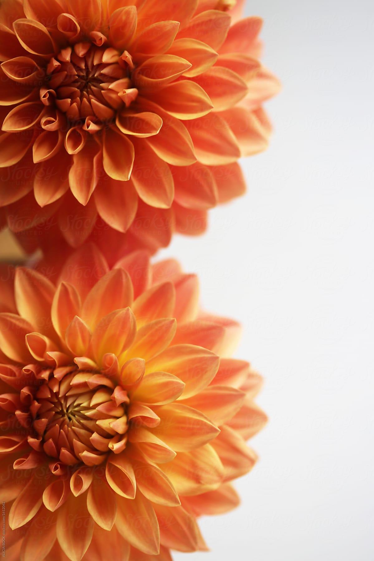Close Up Of Two Vibrant Orange Dahlia Flowers Stocksy United