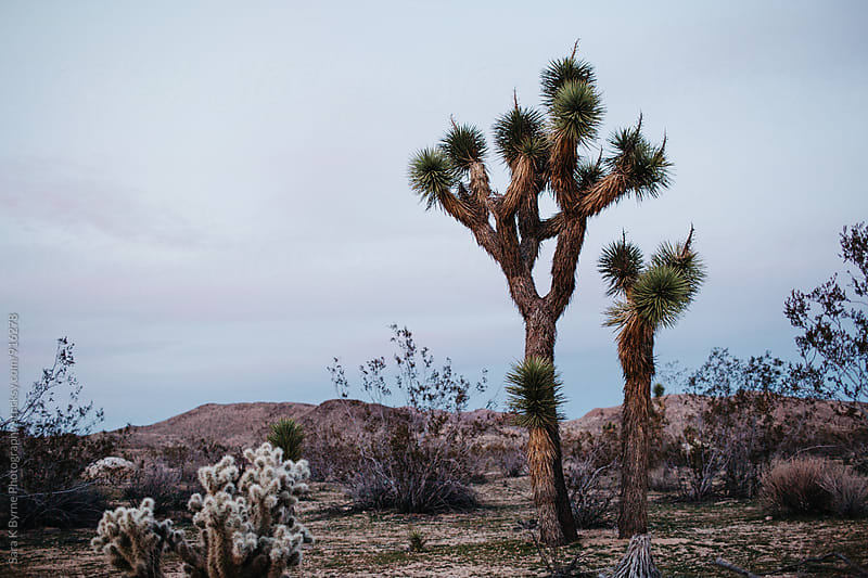 Joshua Trees at Dusk by Sara K Byrne Photography for Stocksy United