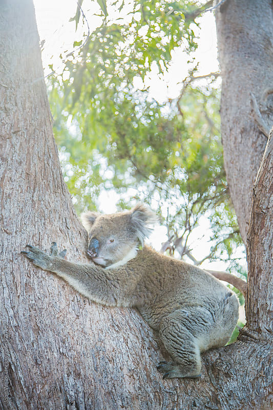 Koala. Australia. by John White for Stocksy United