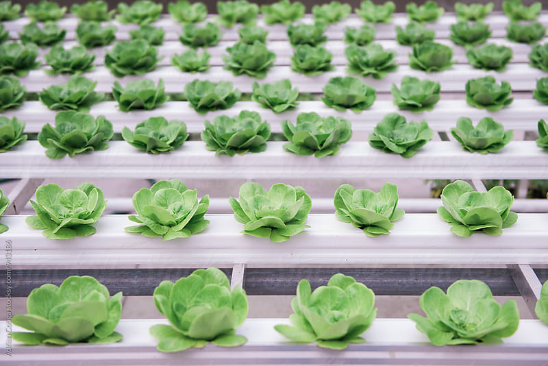 Hydroponics lettuce in the greenhouse rack by Adrian Cotiga for Stocksy United