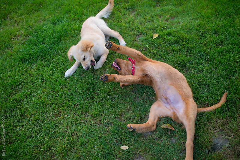 two dogs playing on the lawn by Bo Bo for Stocksy United