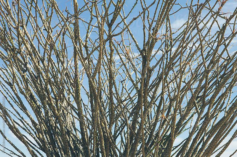 Close up of Ocotillo cactus in desert (Fouquieria splendens), Joshua Tree NP, CA by Paul Edmondson for Stocksy United