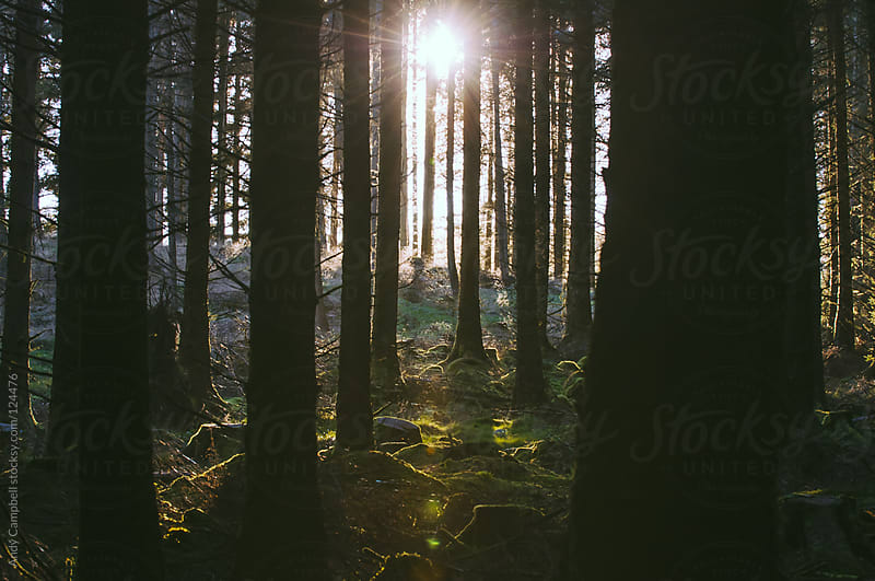 Golden sun rays light trees in a dense forest by Andy Campbell for Stocksy United