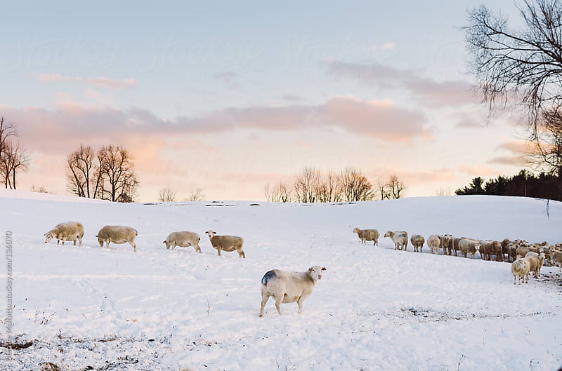 sheep grazing in the snow by Deirdre Malfatto for Stocksy United