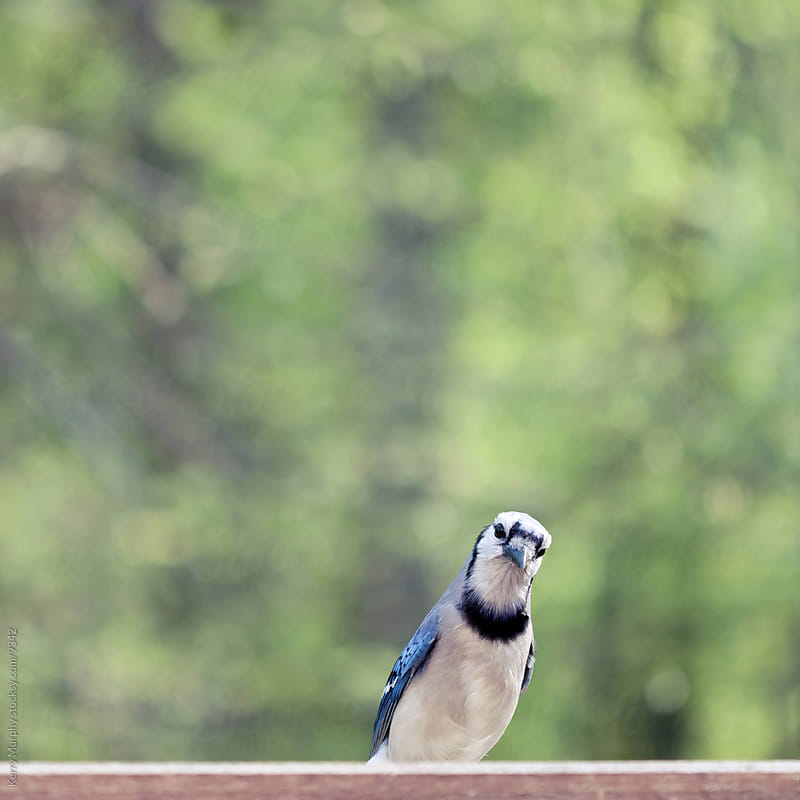 Square crop of blue jay bird by Kerry Murphy for Stocksy United
