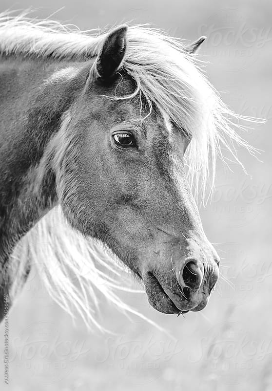 islandic horse by Andreas Gradin for Stocksy United