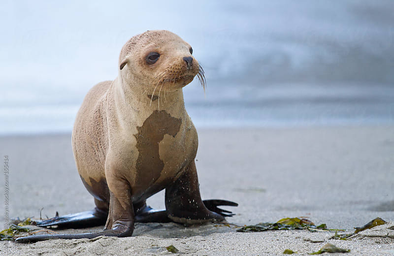 Wild California Sea Lion Pup by Mihael Blikshteyn for Stocksy United