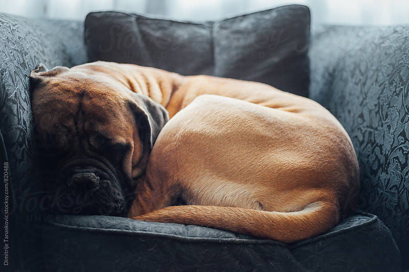 Adult bull mastiff having nap in the chair by Dimitrije Tanaskovic for Stocksy United