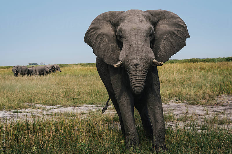 Close-up of elephant walking to camera by Trent Lanz for Stocksy United
