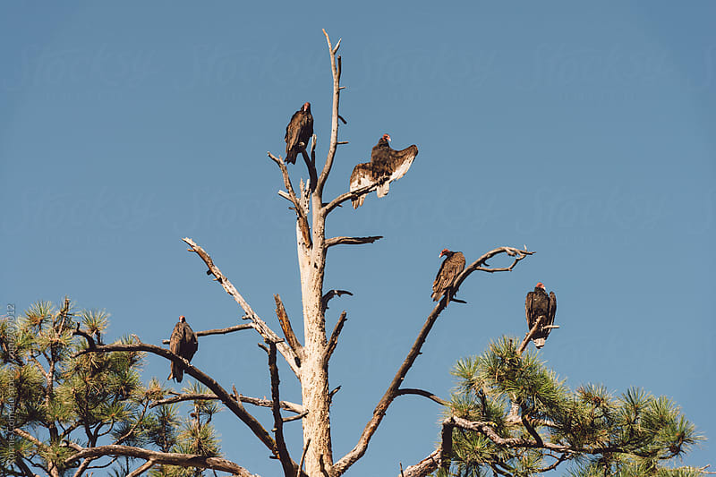 Vultures In A Tree by Ronnie Comeau for Stocksy United