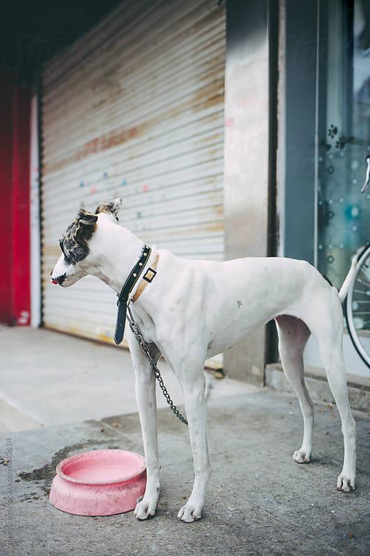 Greyhound by zheng long for Stocksy United