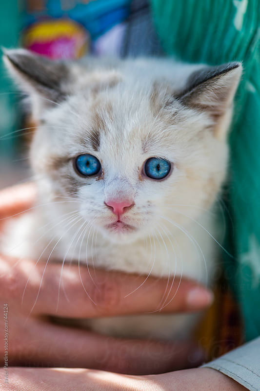 little white cat with blue eyes embraced by a woman by Javier Pardina for Stocksy United