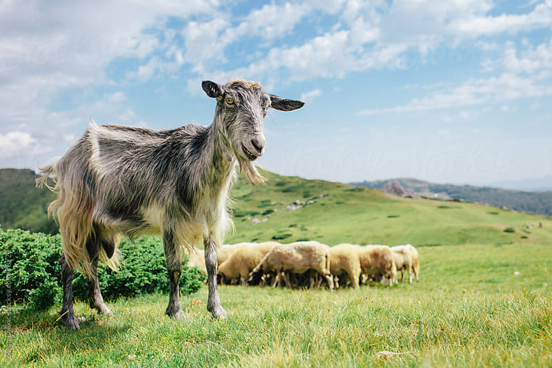 Goat and flock of sheep  in the mountains at summer by Zocky for Stocksy United