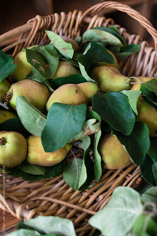quinces and stems picked off the tree by Gillian Vann for Stocksy United