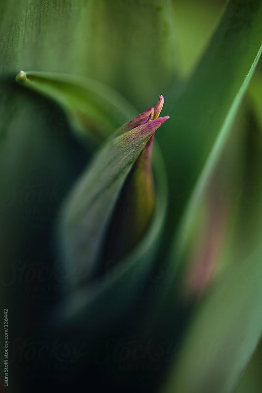 Extreme close-up of tulip bud amongst thick leaves by Laura Stolfi for Stocksy United