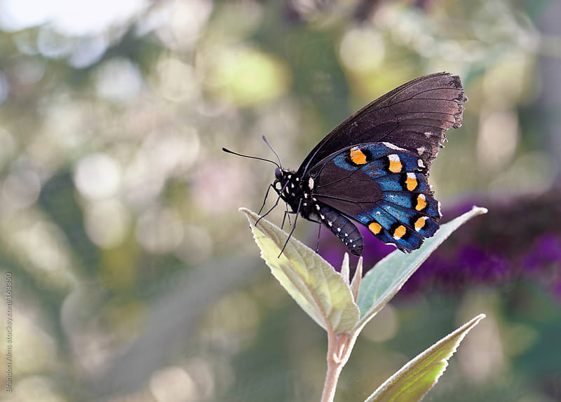 Colorful Pipevine Swallowtail Butterfly by Brandon Alms for Stocksy United