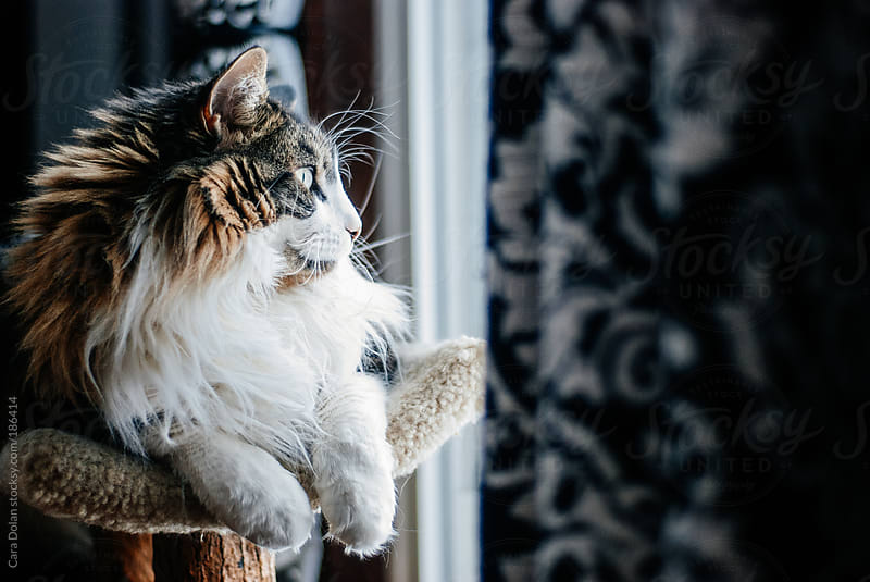 Maine coon cat sits looking out the window by Cara Dolan for Stocksy United