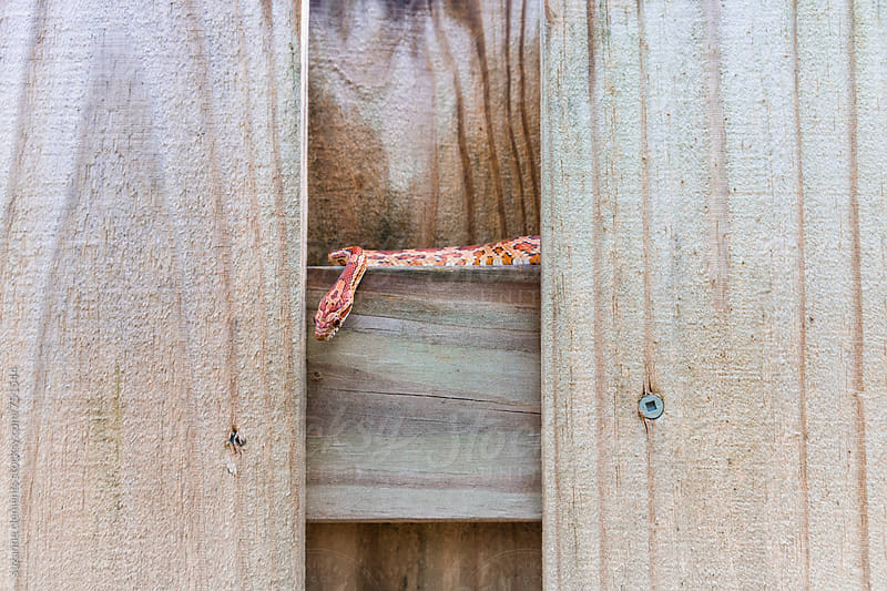 SouthEast American Corn Snake Hides on the Fence by suzanne clements for Stocksy United