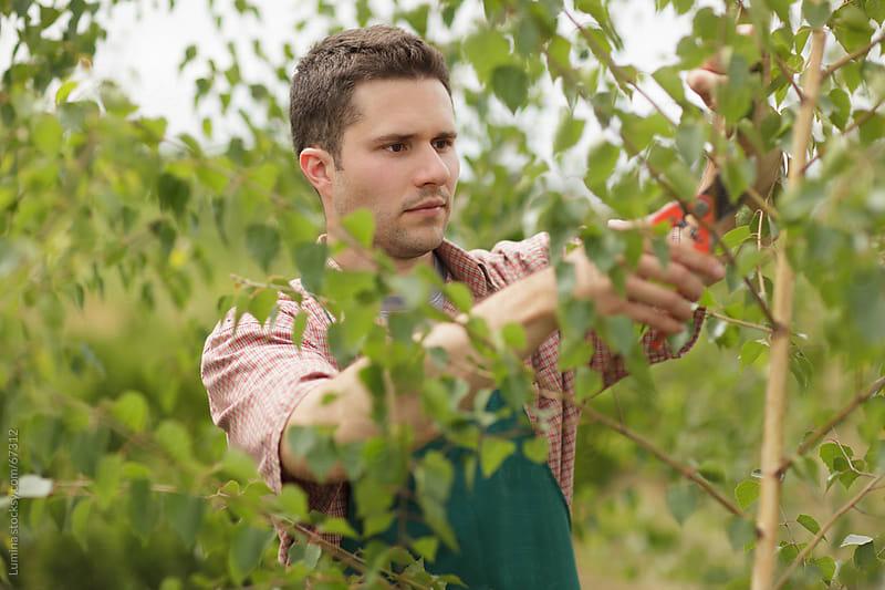 Gardener Pruning Birch Trees by Lumina for Stocksy United