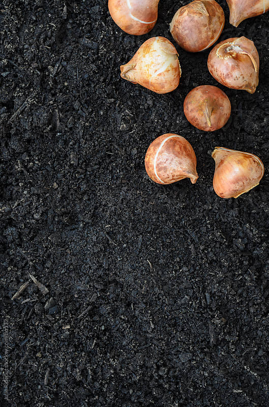 Tulip Bulbs on Dirt by Julie Rideout for Stocksy United