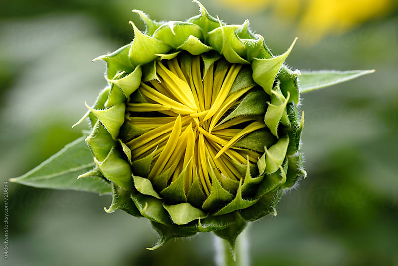 Sunflower Budding by Rob Sylvan for Stocksy United