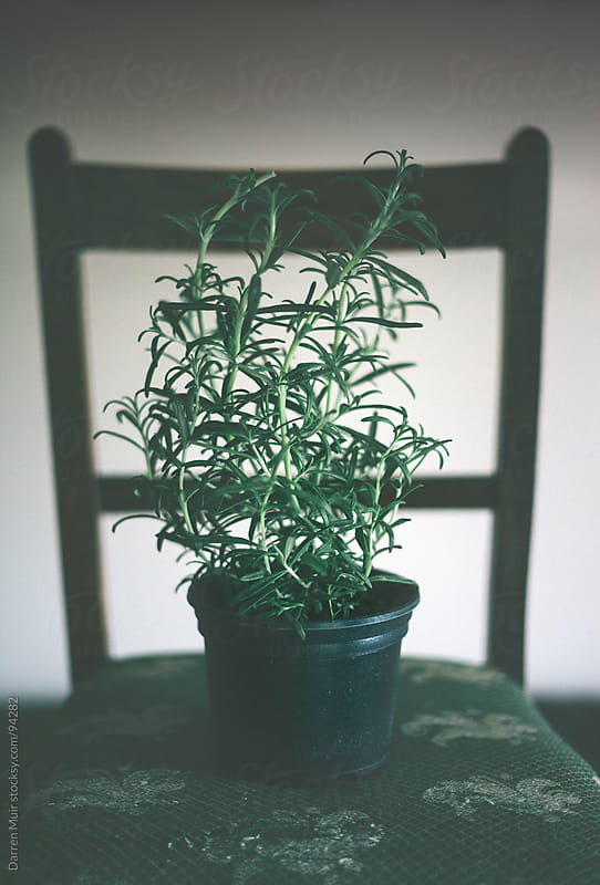Rosemary plant by Darren Muir for Stocksy United