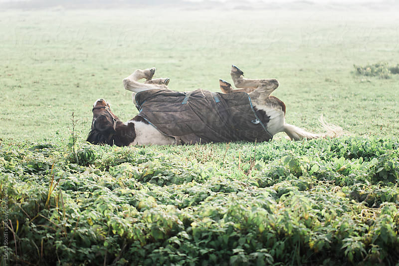 Horse rolling over while leying in the grass in foggy meadow by Laura Stolfi for Stocksy United