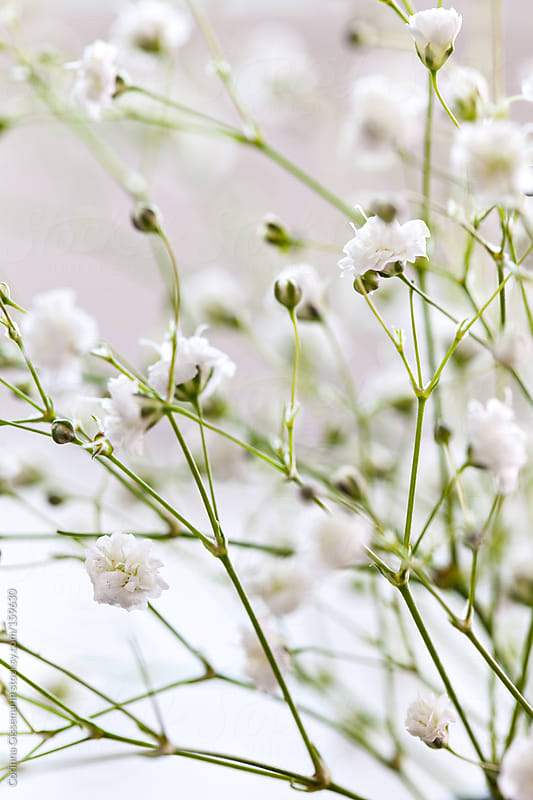 baby's breath flower by Corinna Gissemann for Stocksy United