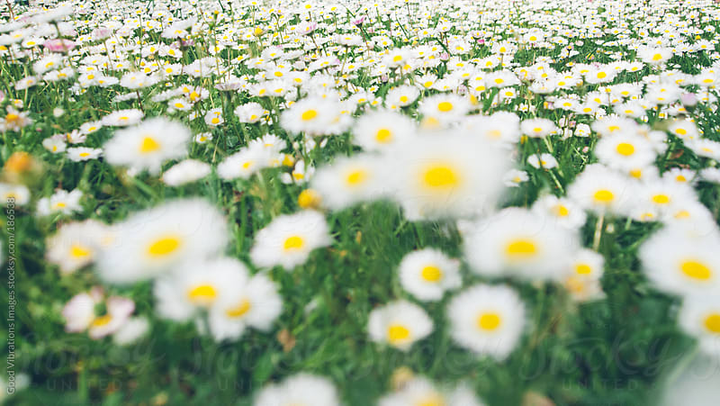 Wild Daisies by Good Vibrations Images for Stocksy United