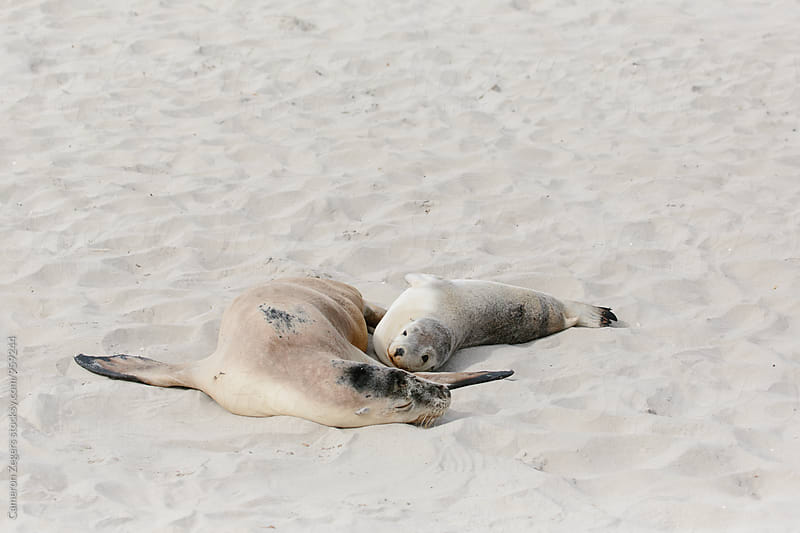 lounging sea lion mother and baby by Cameron Zegers for Stocksy United