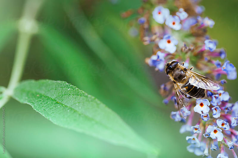 Overhead shot of bee laying on violet buddleia flower by Laura Stolfi for Stocksy United