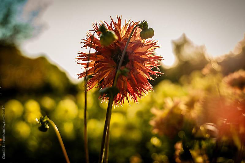 Chrysanthemum Flowers Before Sunset by Claudia Lommel for Stocksy United