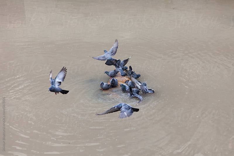 Pigeons gathering on a small piece of rock surrounded by water. by Shikhar Bhattarai for Stocksy United