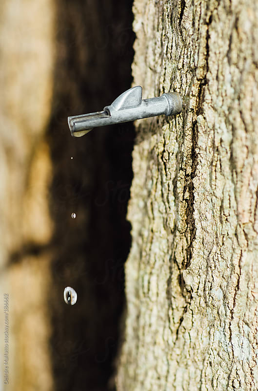 maple sap dripping from a spile by Deirdre Malfatto for Stocksy United