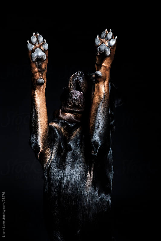 Rottweiler dog standing upright with paws in the air by Lior + Lone for Stocksy United