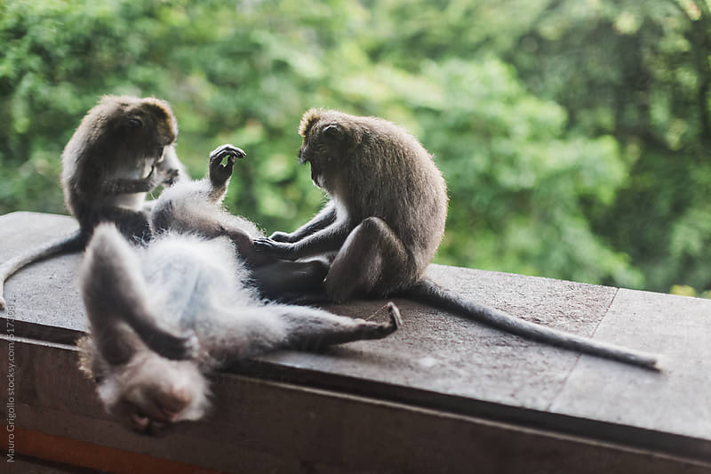 Monkey in Bali, Indonesia by Mauro Grigollo for Stocksy United
