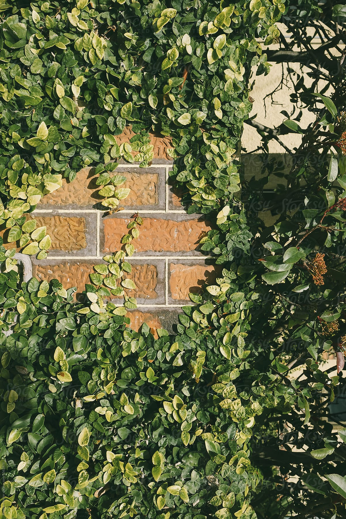 Creeper Plant Slowly Covering Garden Wall By Rowena Naylor Stocksy