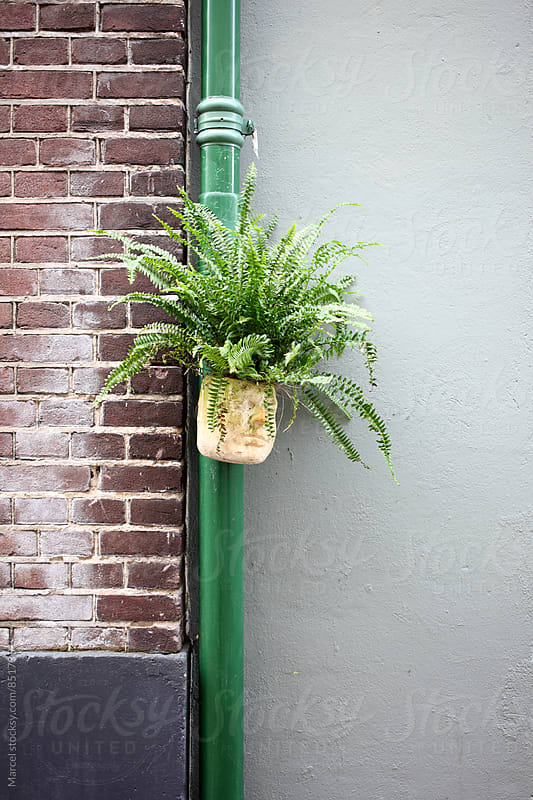 green fern on rain pipe by Marcel for Stocksy United
