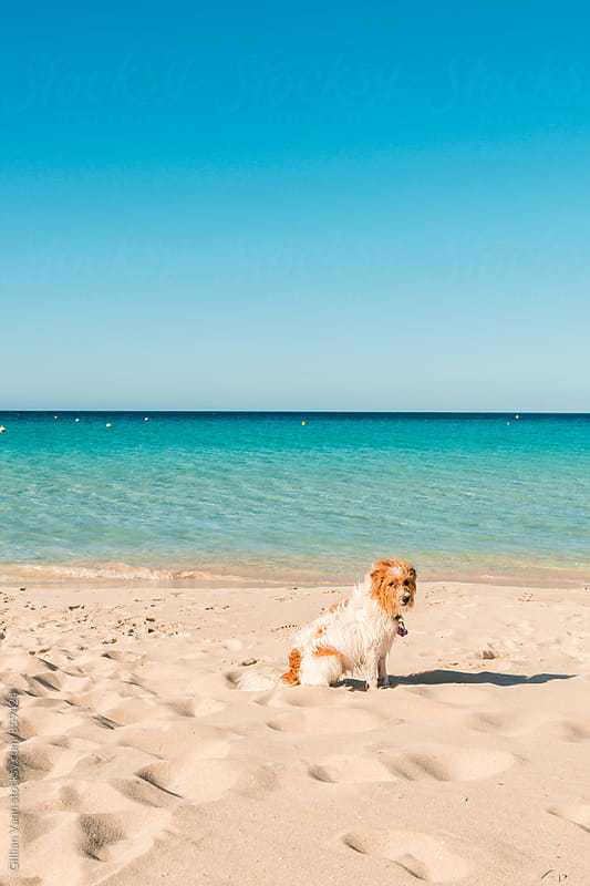 a dog waits patiently on the sand at the beach by Gillian Vann for Stocksy United