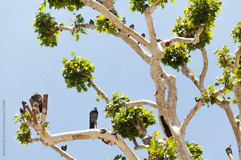 Pigeons on a tree by Borislav Zhuykov for Stocksy United