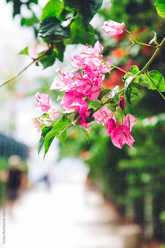 Bougainvillaea growing over a fence by Helen Rushbrook for Stocksy United