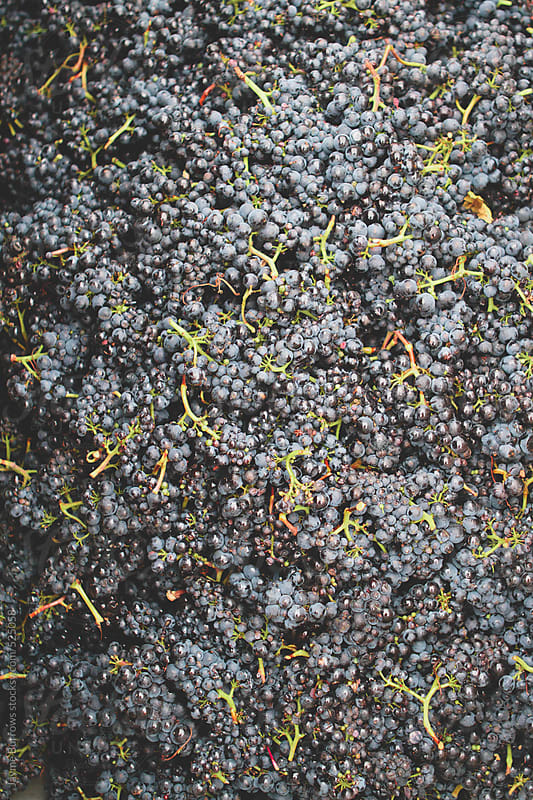 Wine Grapes by Jayme Burrows for Stocksy United