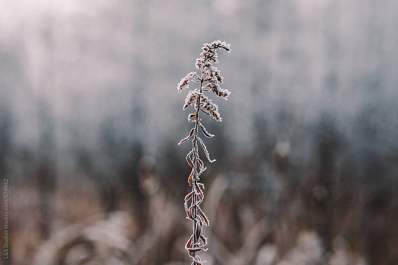 Frost covered plant by L&S Studios for Stocksy United