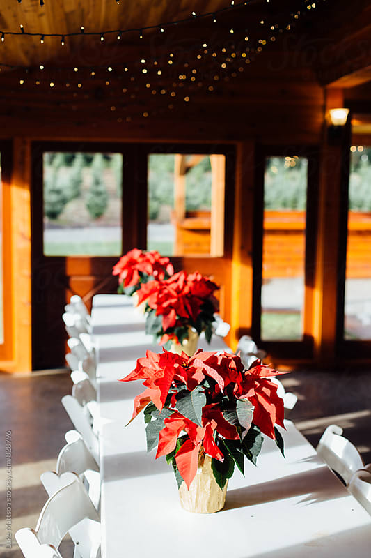 Poinsettia Plants On Tabletop In Winter Lodge Dining Hall With Christmas Lights by Luke Mattson for Stocksy United
