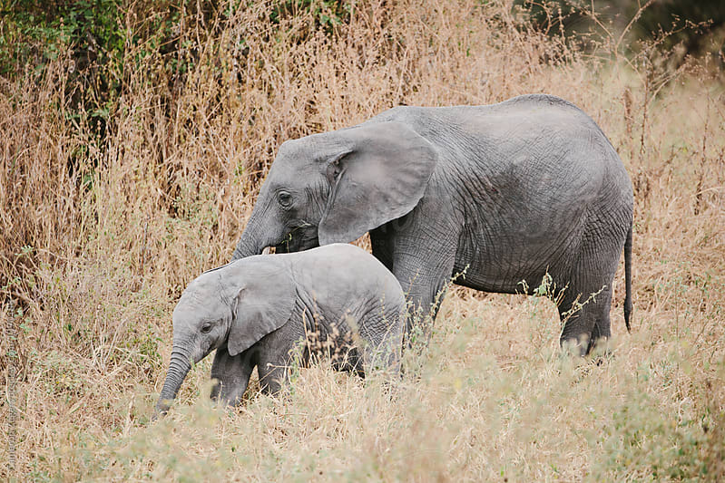 baby and mother elephant by Cameron Zegers for Stocksy United
